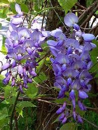 Wisteria Sinensis Prolific - LARGE 1.5M PLANT