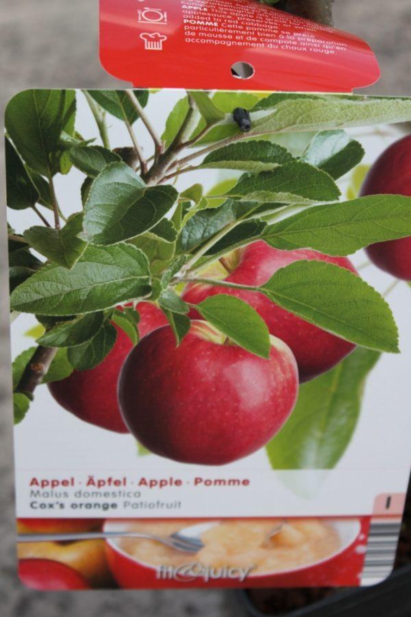 Dwarf Patio Fruit Tree- Apple- Variety Cox's Orange- Approx 75cm Tall