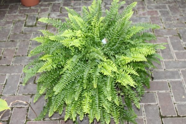 Nephrolepsis- Boston Fern -Bushy House Plant Approx 15cms Tall